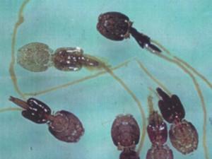 Sea lice larves